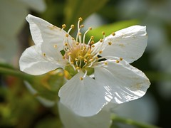 Da grande diventer dolce dolce... (paolo-55) Tags: macro prunusavium fiore ciliegio 105mmvrmicronikkor nikond700 gigilivornosfriends