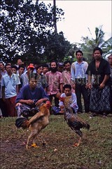 30041987 (wolfgangkaehler) Tags: people bali animal animals indonesia fight asia southeastasia contest fighting cockfight gamecock gamecocks fights cockfights localpeople contests cockfighting baliindonesia peoplewithanimals localcontest animalsfighting peopleworldwide localcontests