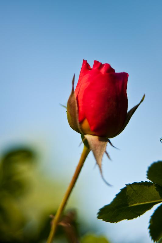 Day 210: Rose on Blue