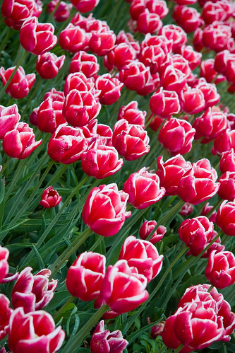 Veldheer's Tulip Farm. Holland Michigan-61