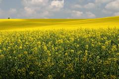 Fields (h3rmes) Tags: landscape fields krakw pola rzepak krakoff witkowicenowe
