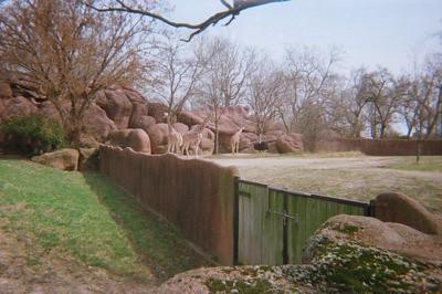Giraffes - St. Louis Zoo