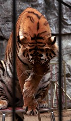 Body care (LETHO 2706) Tags: schweiz tiger picnik whitetiger subingen raubtierpark renstrickler weissetiger photographyartbysnech
