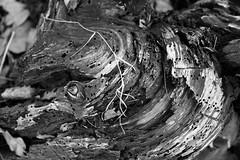 strife (ribbitknight) Tags: blackandwhite monochrome weather deadwood woodworm timberworm