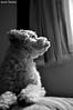 Waiting (Yuricka Takahashi) Tags: brazil dog brasil minas gerais mg cachorro canino takahashi horizonte bh belo d90 yuricka
