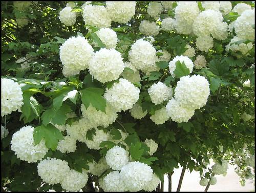 Snowball Tree 2010