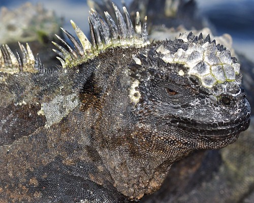 Marine Iguanas (Amblyrhynchus cristatus) Detail