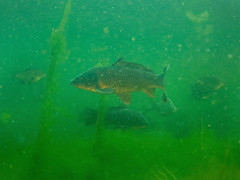 Carp (Cyprinus carpio) and bream (Abramis brama) (Arne Kuilman) Tags: school fish netherlands underwater diving bream freshwater duiken karper cyprinuscarpio haarlemmermeersebos brasem abramisbrama graskarper