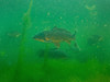 Carp (Cyprinus carpio) and bream (Abramis brama) (Arne Kuilman) Tags: school fish netherlands underwater diving bream freshwater duiken karper cyprinuscarpio haarlemmermeersebos brasem abramisbrama graskarper