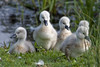 Swans & Cygnets (ttaylor Photography) Tags: lake birds swan nest wildlife cygnet swans chicks wildlifereserve