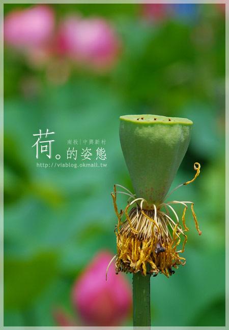 【2010賞荷】南投中興新村~荷花(蓮花)池準備盛放!19