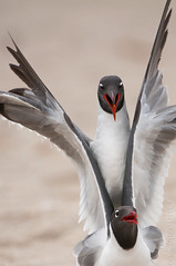 Laughing Gulls Getting Serious