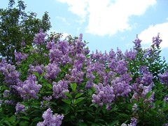 If you want to lift yourself up, lift up someone else      -     Booker T. Washington (Trinimusic2008 - stay blessed) Tags: flowers blue sky toronto ontario canada nature clouds campus flickr skies to foilage puffy yorkuniversity lilacs yorku feelslikejuly may2010 trinimusic2008