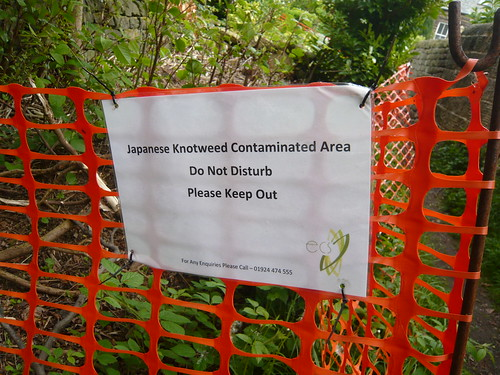 Not Knotweed