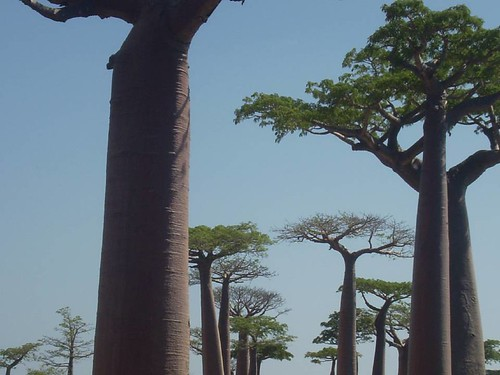 Adansonia grandidieri (Richard Jenkins)
