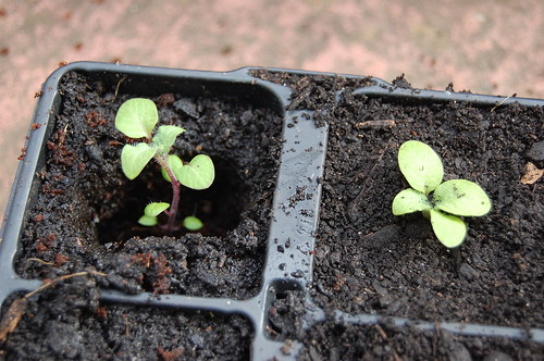 Potting up TPS seedlings