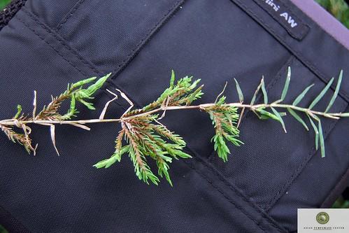 bermudagrass stolon with mite damage