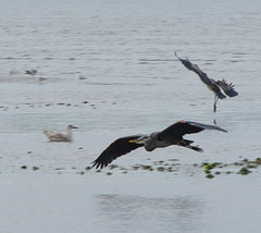 two herons coming in to land