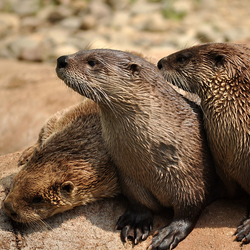iPad Wallpaper: Otters