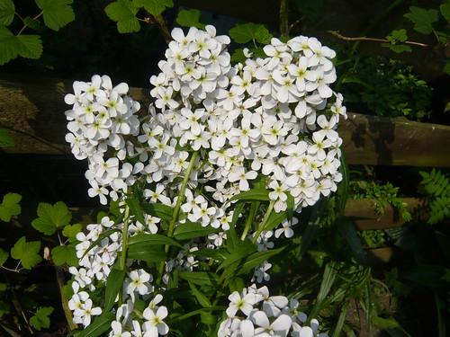 Hesperis matronalis Alba