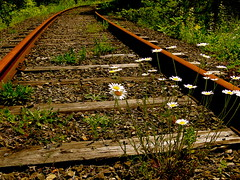 Tied to the Tracks (lynn.h.armstrong) Tags: camera wood railroad flowers brown white ontario canada green art grass yellow stone forest train lens geotagged photography photo weeds rust long flickr shot photos sony south tracks cybershot lynn h stems daisy armstrong dsc stormont cyber gettyimages sault flickrcom ingleside superzoom attributionnoderivs redbubble redbubblecom ccbynd hx1 dschx1 lynnharmstrong requesttolicense requesttolicence