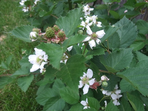 may2010-blackberries