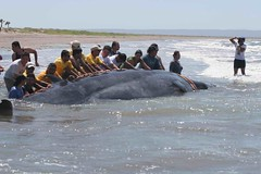 Whale rescued in front of Paraiso del Mar casas