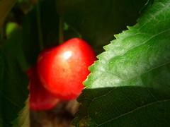 (Hitch_Frappuccino) Tags: light red sun sunlight tree green nature leaves fruit foglie cherry ray little small sole albero frutta luce piccola rossa raggio ciliegia