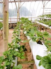Les fraises hydroponiques
