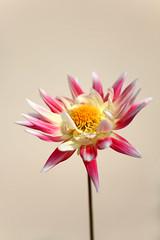 ... (Matteo Dunchi) Tags: pink white flower nature yellow closeup canon bokeh ii mm f18 50 ef ef50mmf18ii canonef50mmf18ii eos450d