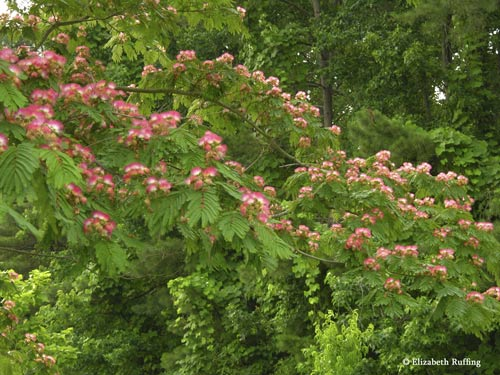 Mimosa Tree in bloom