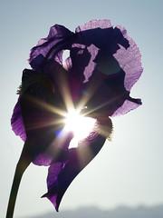 L'Iris et le soleil (JMVerco) Tags: iris shadow flower fleur ombra ombre fiore flickrchallengegroup
