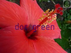 Ibiscus rosa sinensis