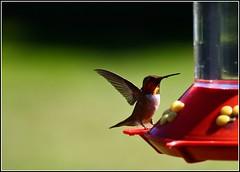 Enjoying nectar