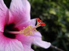 Hibiscus * Cayena y sus detalles (jacilluch) Tags: pink flower macro fleur flor blossoms jardin rosa hibiscus hibisco estilo antera papo pacífico cayena amapola cardenales gineceo filamento pistilo cucarda estigma chinesehibiscus estambres rosadechina androceo flordelbeso