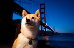 At the Bridge - 24/52 (kaoni701) Tags: sanfrancisco portrait night gg nikon pacific fort dusk marin tokina goldengatebridge wireless bluehour suki shibainu shiba presidio cls crissyfield uwa ggb week24 shibaken 柴犬 sb800 1116 strobist difussion sb900 d300s 52weeksfordogs