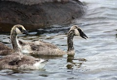 Canada Geese (DianesDigitals) Tags: geese canadagoose brantacanadensis canadageese dianesdigitals