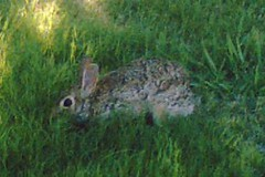 rabbit on landsford drive