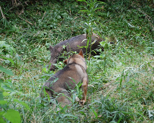Shikoku Baying Boar