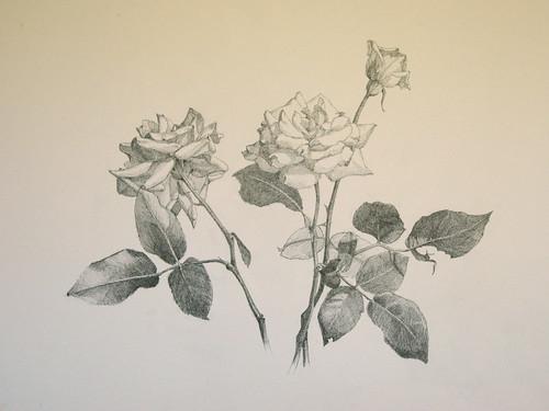 20100620 Roses I dwg 15x22