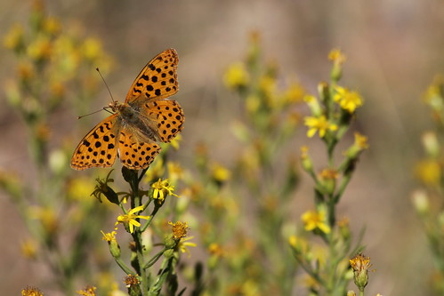 Papillon et Nectar