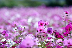- Sea of flowers in Shinshou (prince470701) Tags: taiwan taichung  seaofflowersinshinshou sonya850 sony135zaf18
