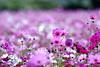 新社花海 - Sea of flowers in Shinshou (prince470701) Tags: taiwan taichung 新社花海 seaofflowersinshinshou sonya850 sony135zaf18