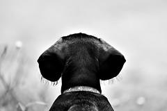 In waiting mode... (Pablin79) Tags: light shadow bw dog pet white black argentina animal contrast digital canon eos mono reflex dof bokeh dachshund 5d tones weiner homero misiones posadas markii 70200mm monocrome duchshund wirehair bokah bookeh canonef70200mmf4lisusm canoneos5dmarkii 5dmkii pabloreinschphotography