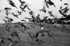 Freedom (Karthikeyan.chinna) Tags: karthikeyan chinnathamby chinna canon canon5d canon5dmarkiii travel mono monochrome india southindia beach chennai thiruvanmaiyur tamilnadu dove birds nature abtract action
