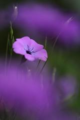 Behind Purple Haze (haberlea) Tags: garden viscaria purple green plant haze macro flower focus mygarden