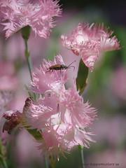 20170701000891 (koppomcolors) Tags: koppomcolors flowers blommor