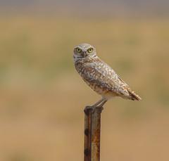 Intense gaze from Burrowing Owl (Khanh B. Tran) Tags: