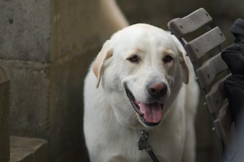 Guard dog of Drachenburg