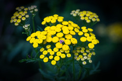 Tansy (Tanacetum vulgare) (mincipinci) Tags: flowers nature goldenbuttons